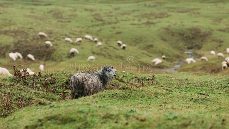 Kudde van schapen die in de bergen weiden royalty-vrije stock afbeelding