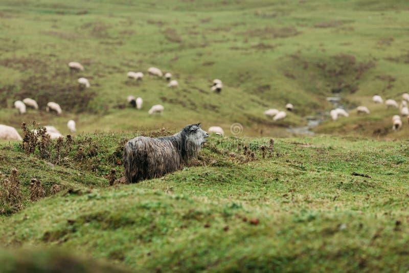 Kudde van schapen die in de bergen weiden royalty-vrije stock fotografie