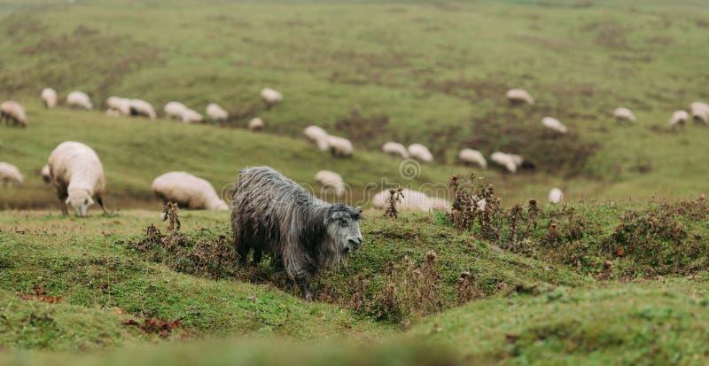 Kudde van schapen die in de bergen weiden royalty-vrije stock foto