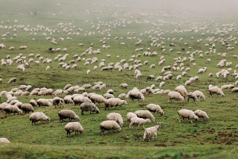 Kudde van schapen die in de bergen weiden royalty-vrije stock afbeeldingen