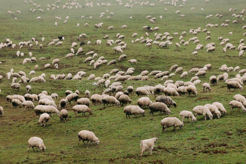 Kudde van schapen die in de bergen weiden stock foto