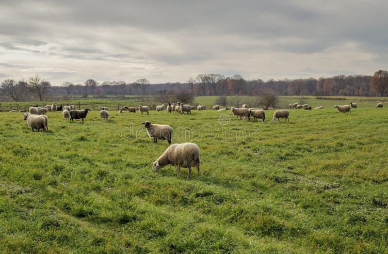 Kudde van schapen die in een weide weiden stock fotografie