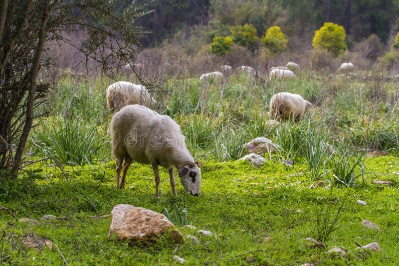 Kudde van schapen die in groene weide weiden stock foto's