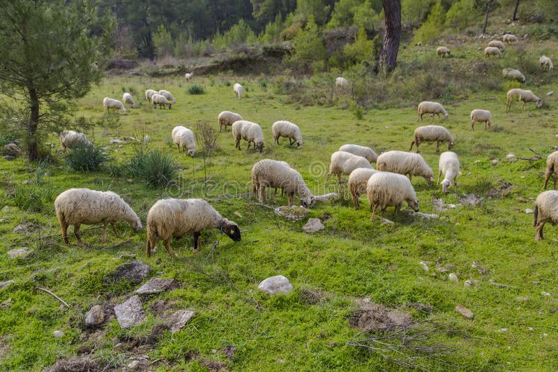Kudde van schapen die in groene weide weiden royalty-vrije stock afbeeldingen