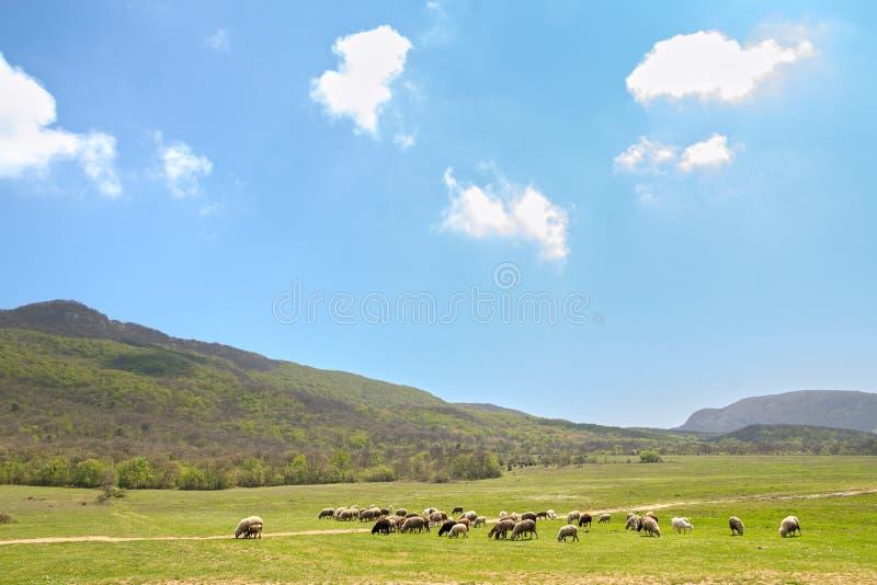 Kudde van schapen die op de lenteweide bij voet bergen tegen hemel met wolken weiden royalty-vrije stock afbeeldingen
