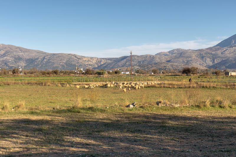 Kudde van schapen die op een berg landbouwgebied weiden royalty-vrije stock afbeeldingen
