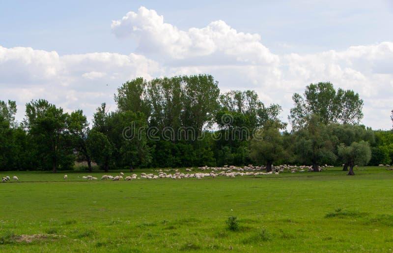 Kudde van schapen die op gebied weiden royalty-vrije stock afbeelding