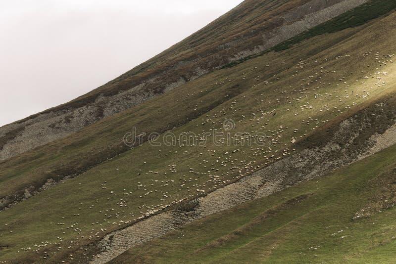 Kudde van schapen die op groene weiden in de bergen weiden royalty-vrije stock foto's