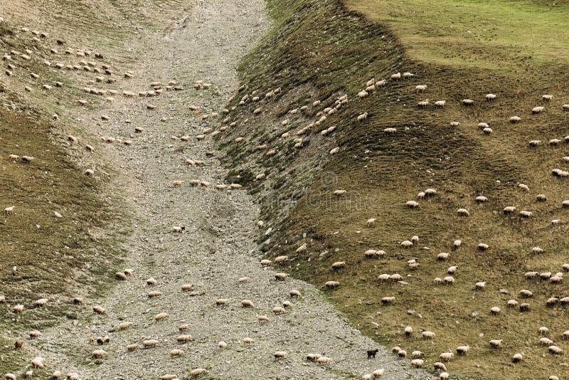 Kudde van schapen die op groene weiden in de bergen weiden stock afbeelding