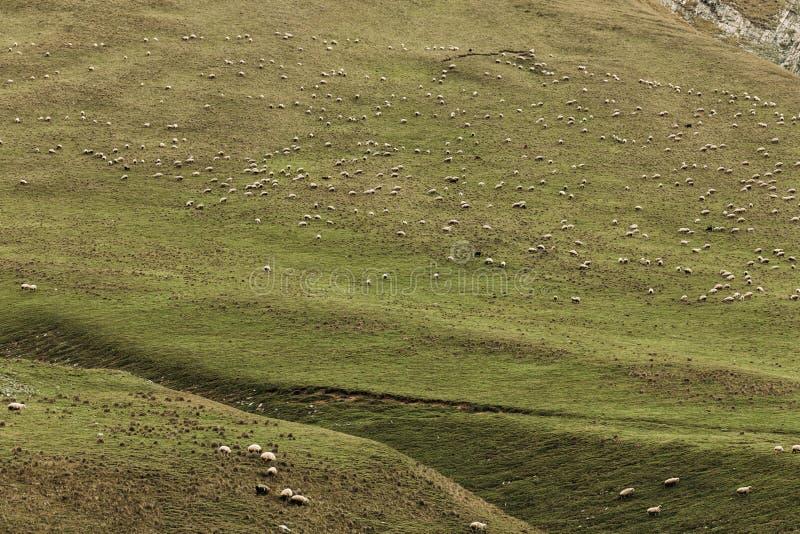 Kudde van schapen die op groene weiden in de bergen weiden stock foto's
