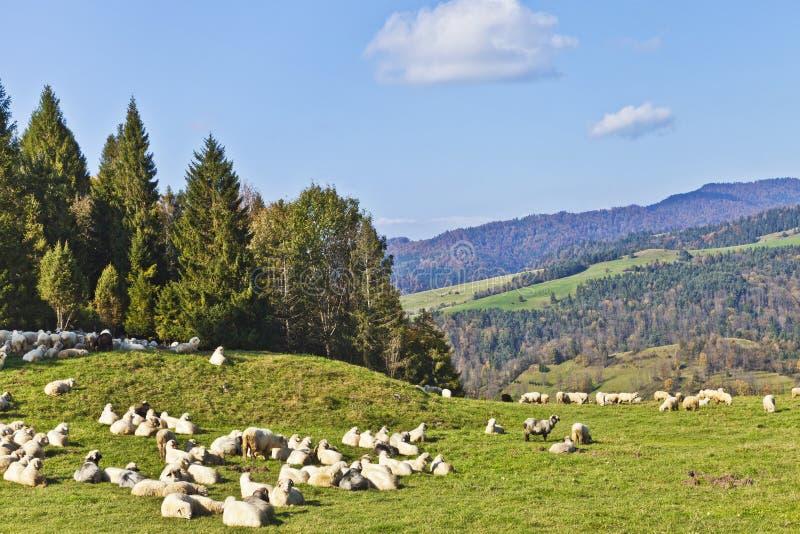 Kudde van schapen die op weelderige bergweide weiden stock foto's
