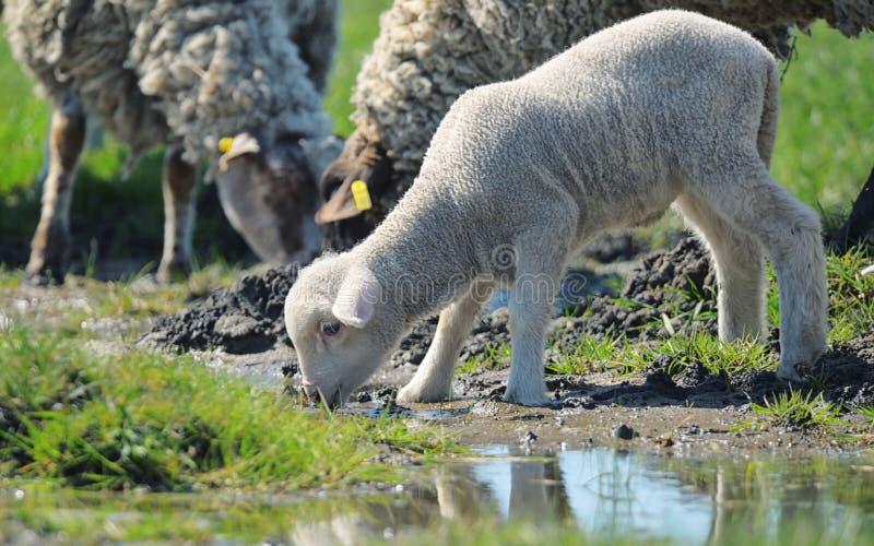 Kudde van schapen drinkwater royalty-vrije stock fotografie