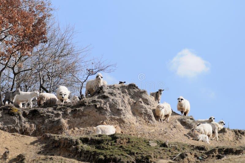 Kudde van schapen en geiten royalty-vrije stock fotografie