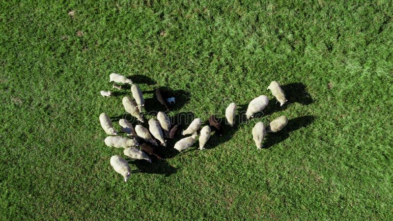 Kudde van schapen in het weiland royalty-vrije stock foto