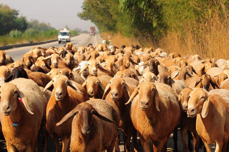 Kudde van schapen op weg royalty-vrije stock afbeelding
