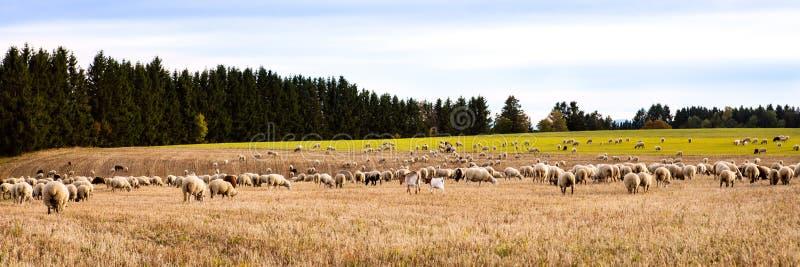Kudde van sheeps en geiten op een gebied, Panorama royalty-vrije stock afbeeldingen