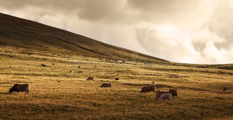 Kudde van vee bij zonsondergang stock fotografie