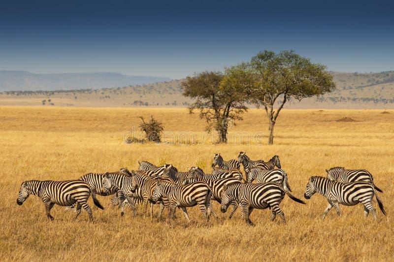 Kudde van Vlaktes Zebras in het Nationale Park van Serengeti, Tanzania stock afbeelding