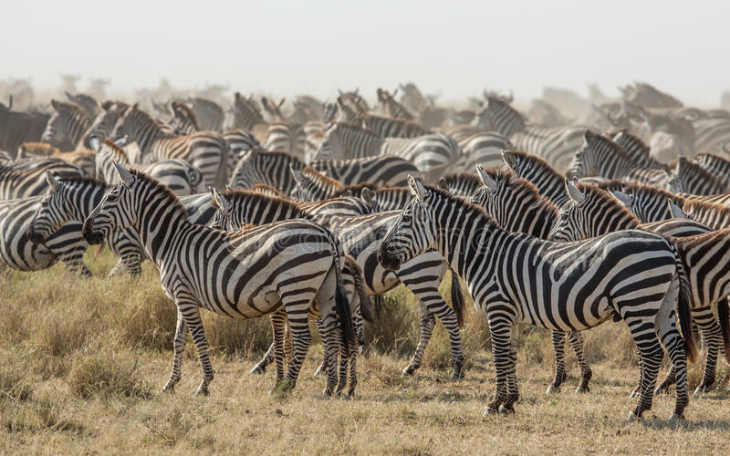 Kudde van Vlakteszebra in Serengeti, Tanzania royalty-vrije stock afbeelding