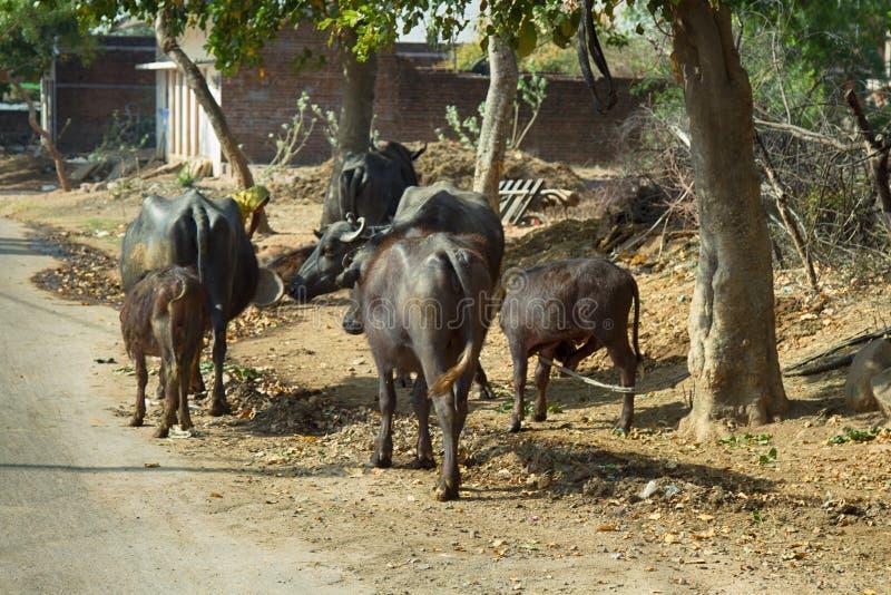 kudde van waterbuffels op straten van Indische dorpen stock foto