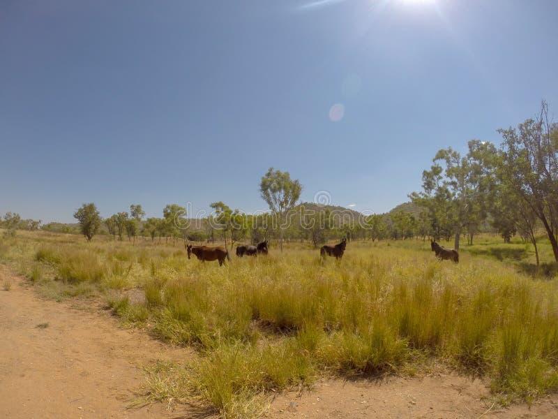 kudde van wild paarden in de MacDonnell-Waaier, Australië stock fotografie