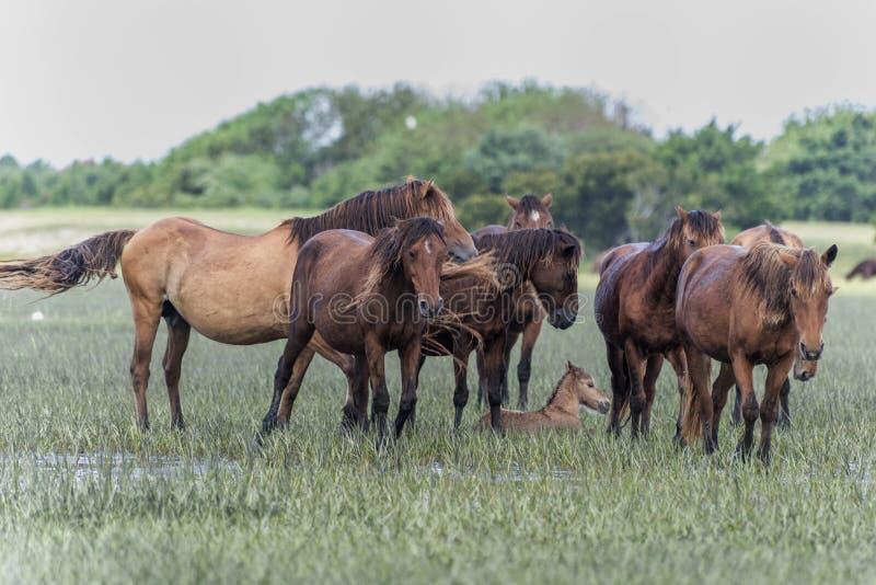 Kudde van wild paarden in outerbanks van Noord-Carolina royalty-vrije stock foto