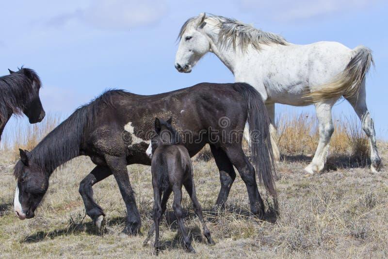 Kudde van wild paarden in roosevelt nationaal park stock foto's