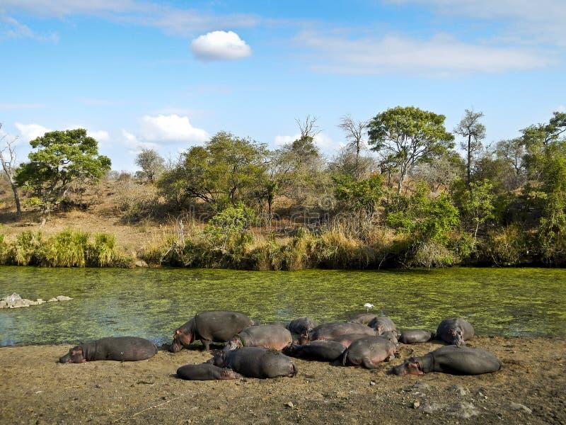 Kudde van wilde hippos die, Kruger, Zuid-Afrika slapen stock fotografie