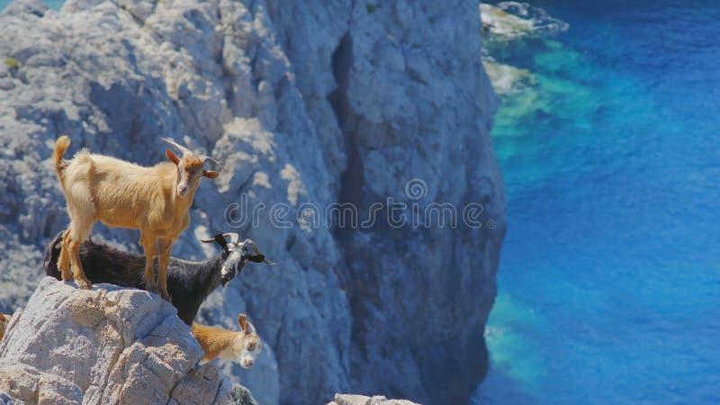 Kudde van Wilde Nieuwsgierige Geiten op Steile rotsen stock foto