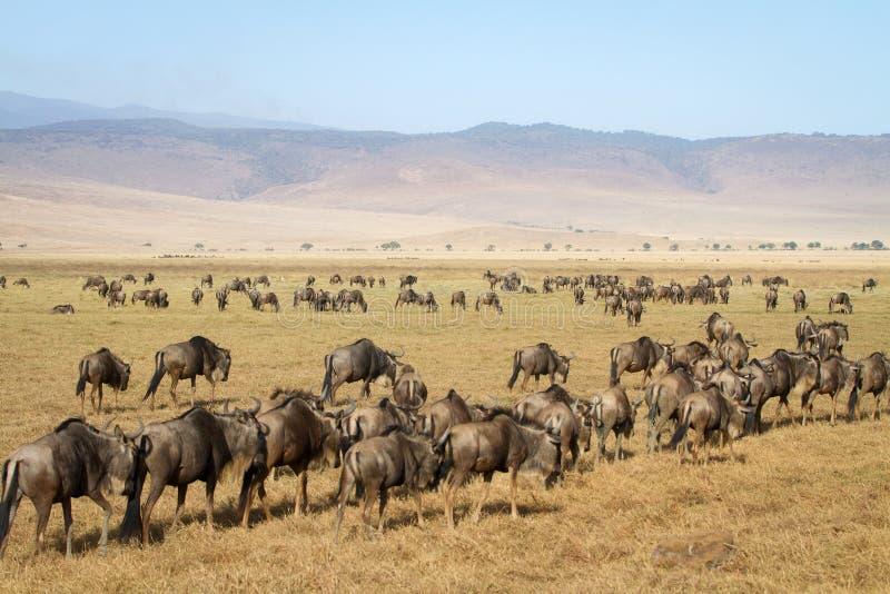 Kudde van wildebeests in Ngorongoro stock foto's