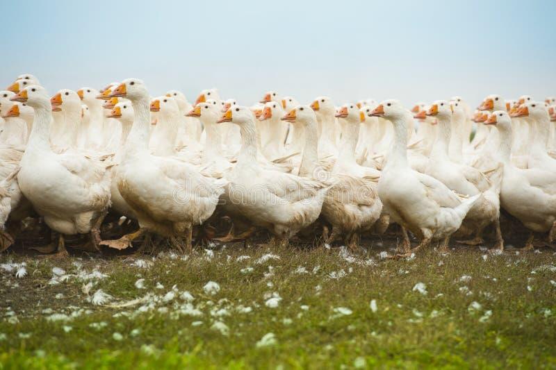 Kudde van witte binnenlandse ganzen stock afbeeldingen