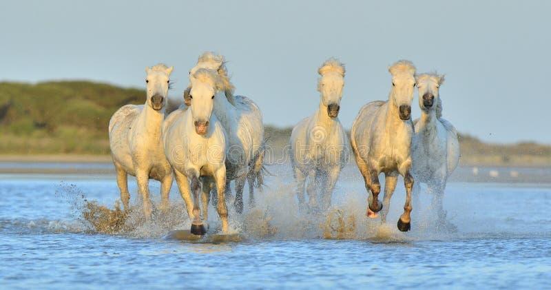 Kudde van Witte Camargue-Paarden die op het water lopen stock fotografie