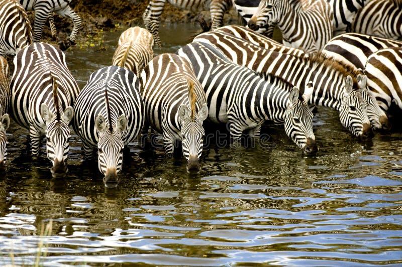 Kudde van zebra in Masai mara Kenia royalty-vrije stock afbeeldingen