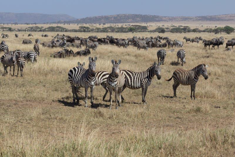 Kudde van zebra met sommigen die in Serengeti kijken royalty-vrije stock afbeeldingen