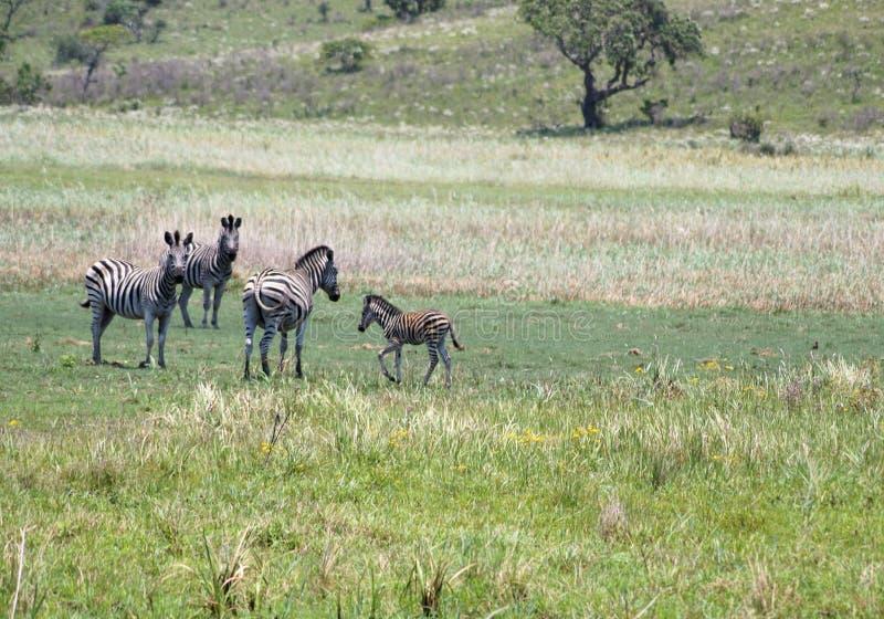 Kudde van Zebras in Afrika royalty-vrije stock foto's