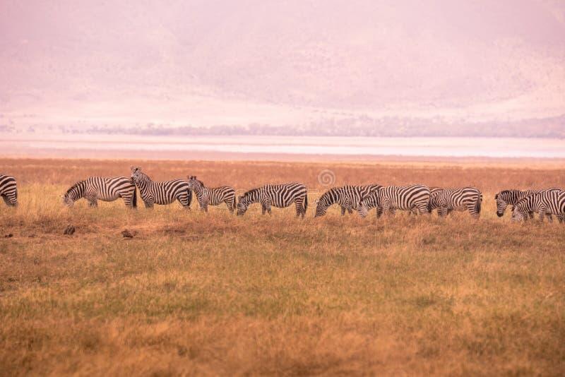 Kudde van zebras in Afrikaanse savanne Zebra met patroon van zwart-witte strepen Het wildsc?ne van aard in Afrika Safari binnen stock fotografie
