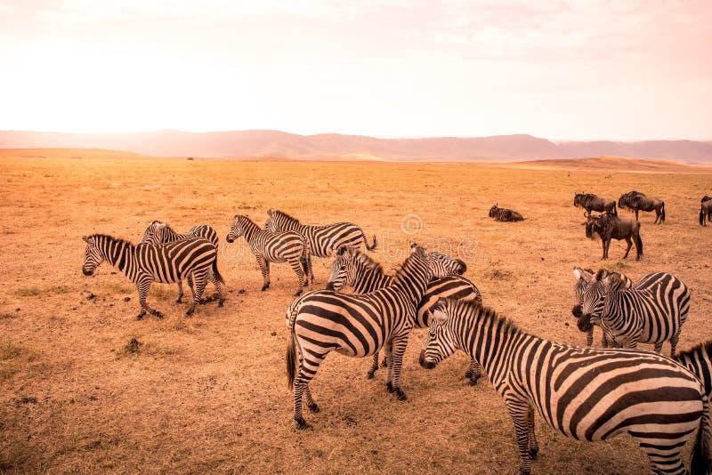 Kudde van zebras in Afrikaanse savanne Zebra met patroon van zwart-witte strepen Het wildsc?ne van aard in Afrika Safari binnen stock foto's