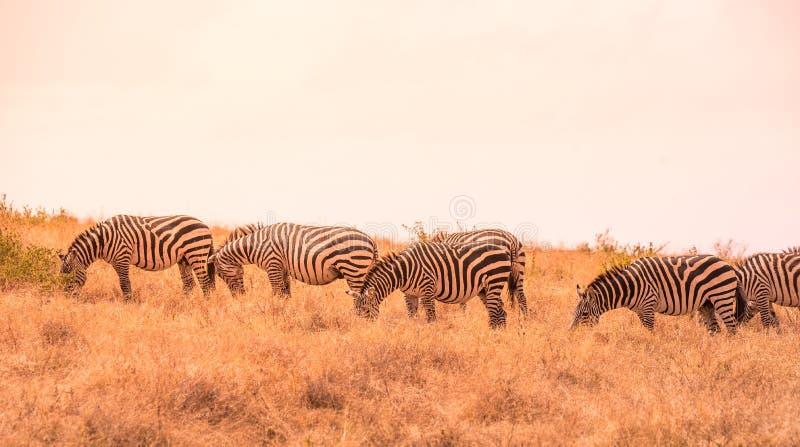 Kudde van zebras in Afrikaanse savanne Zebra met patroon van zwart-witte strepen Het wildsc?ne van aard in Afrika Safari binnen stock afbeelding