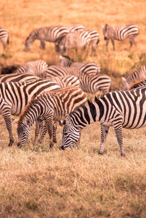 Kudde van zebras in Afrikaanse savanne Zebra met patroon van zwart-witte strepen Het wildsc?ne van aard in Afrika Safari binnen royalty-vrije stock afbeelding