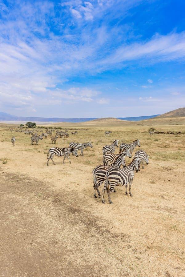 Kudde van zebras in Afrikaanse savanne Zebra met patroon van zwart-witte strepen Het wildsc?ne van aard in Afrika Safari binnen royalty-vrije stock foto