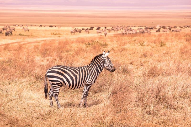 Kudde van zebras in Afrikaanse savanne Zebra met patroon van zwart-witte strepen Het wildsc?ne van aard in Afrika Safari binnen stock afbeeldingen