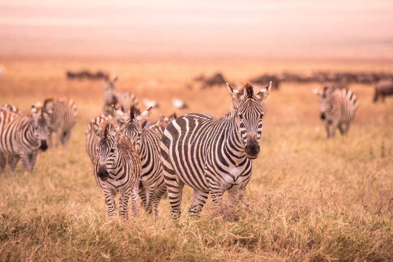 Kudde van zebras in Afrikaanse savanne Zebra met patroon van zwart-witte strepen Het wildsc?ne van aard in Afrika Safari binnen royalty-vrije stock fotografie