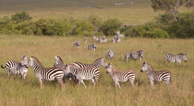 Kudde van Zebras in de Reserve van het Spel van Masai Mara stock foto's