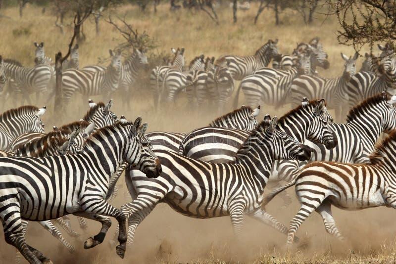 Kudde van zebras het gallopping stock afbeeldingen