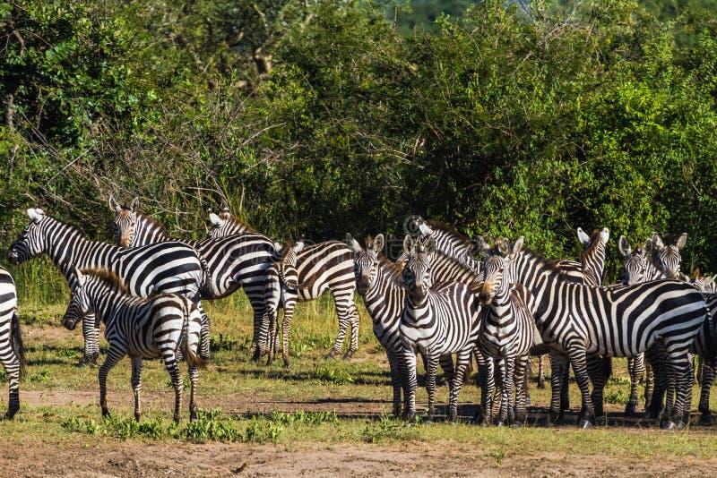 Kudde van zebras in Serengeti Tanzania, Afrika royalty-vrije stock foto's