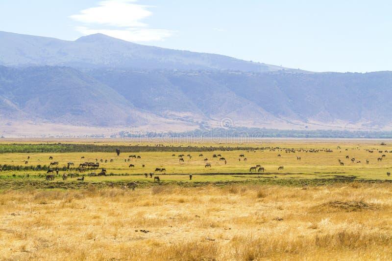 Kudden van wilde dieren die in Ngorongoro weiden royalty-vrije stock foto's