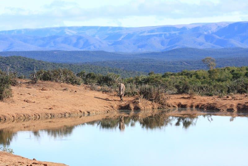 kudu横向 免版税图库摄影