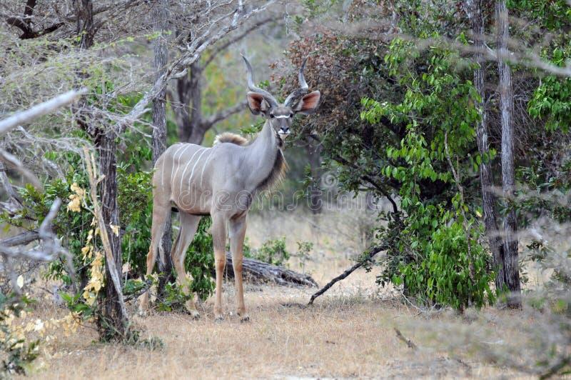 kudu男森林 免版税库存照片