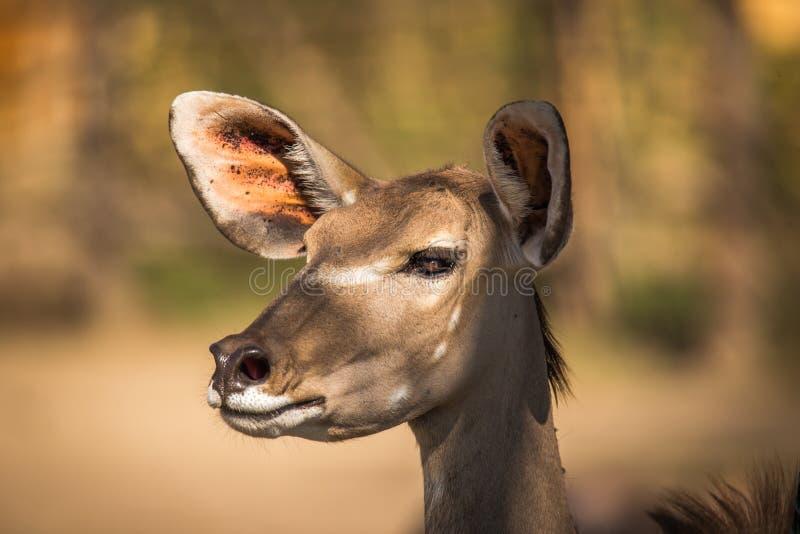 Kudu羚羊非洲羚羊类弯角羚类的画象,南非 免版税库存图片