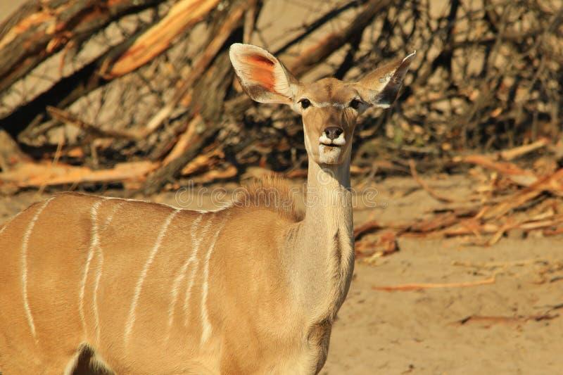 Kudu羚羊-非洲野生生物背景-在块的最大的耳朵 库存图片